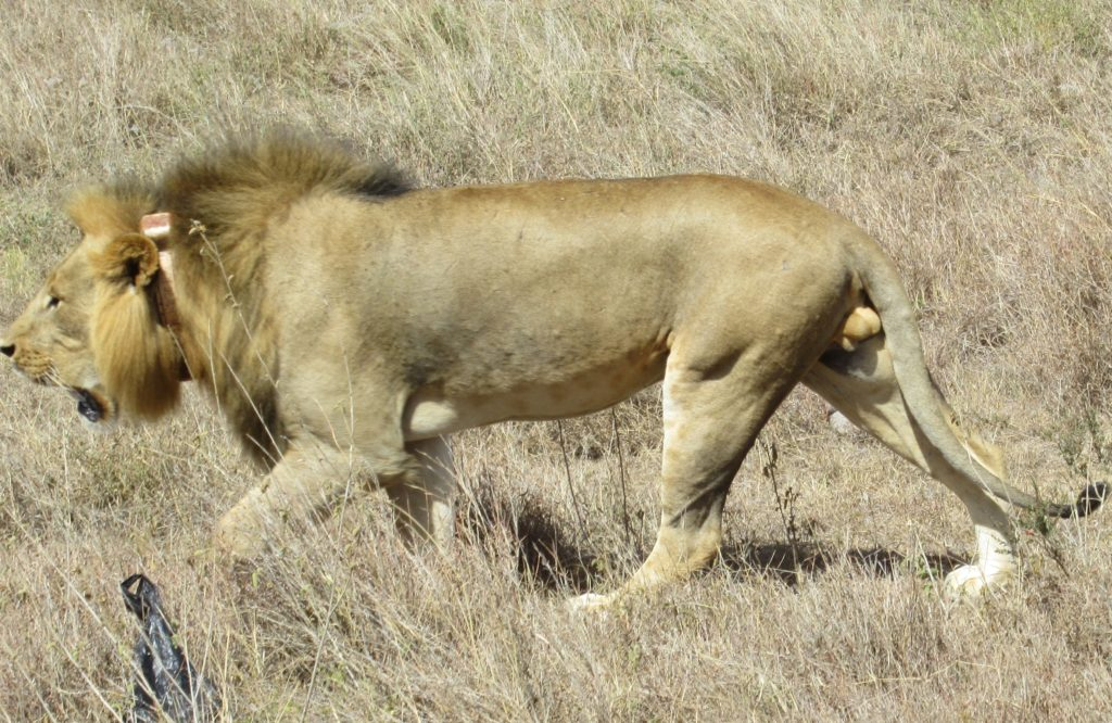 lion-nairobi-national-park