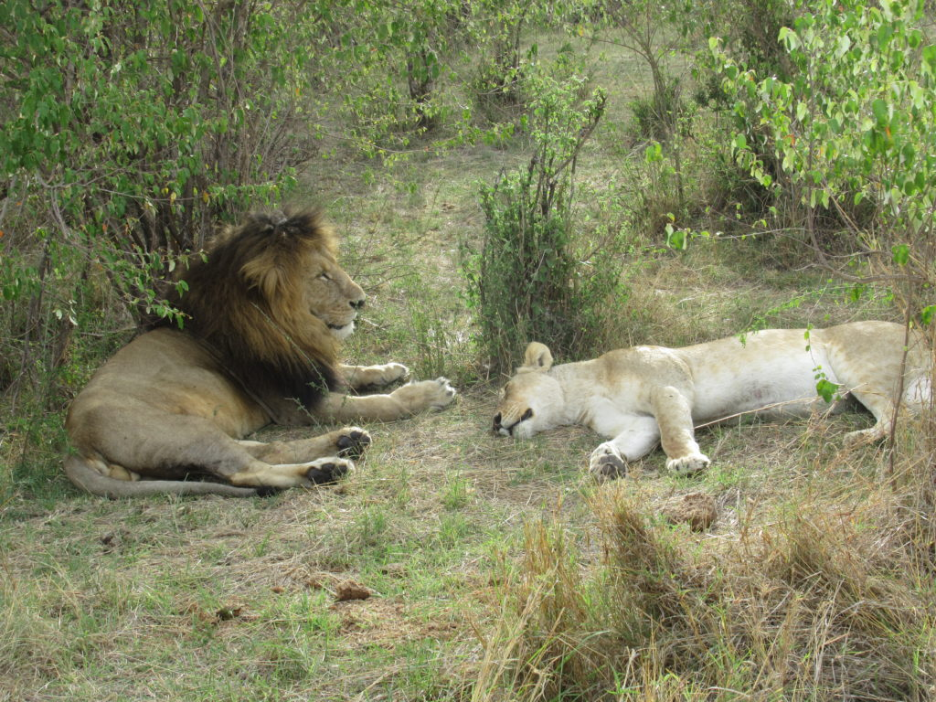 male and female lion napping
