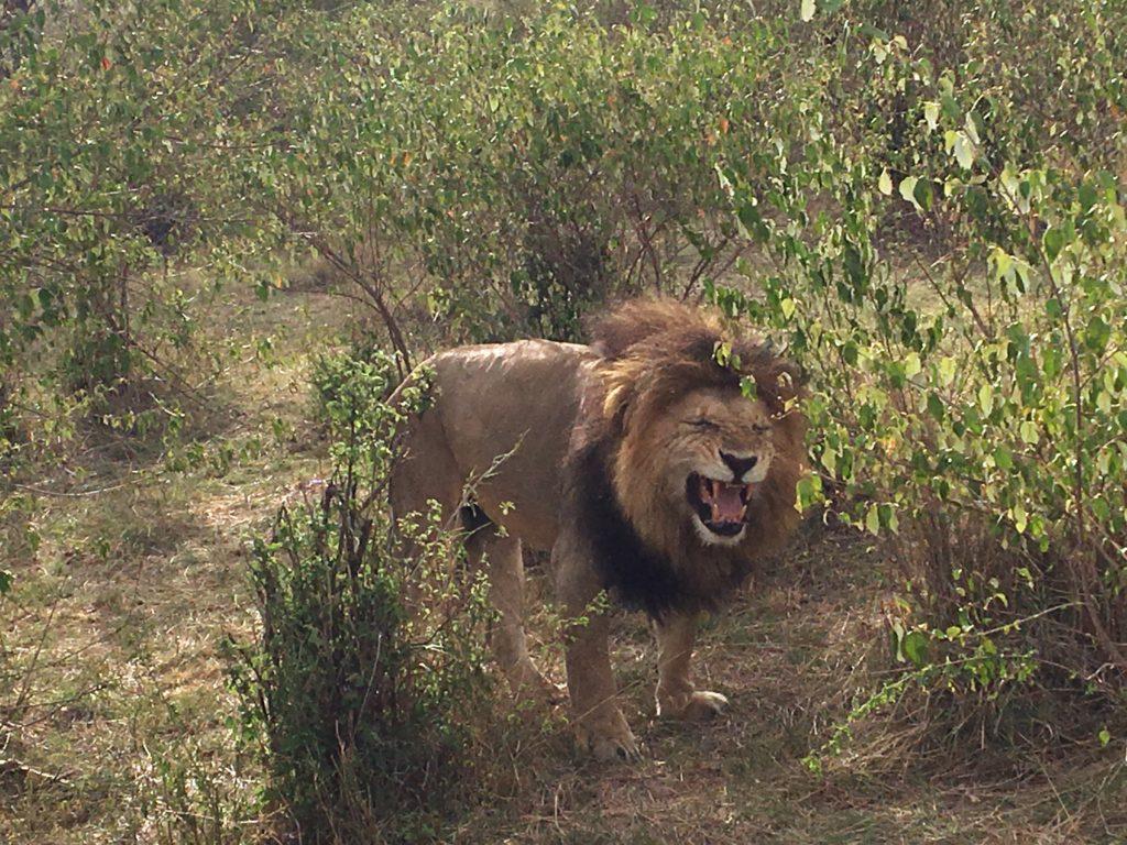 lion flehmen response