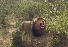 lion flehman response