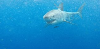 great-white-shark-the-legend