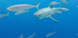 great-white-shark-guadalupe-island-scad-mackeral