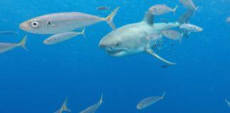 great-white-shark-guadalupe-island-scad-mackeral