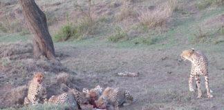 cheetah-family-at-kill