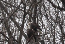 pair-of-bald-eagles