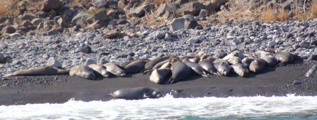 guadalupe-sea-lions