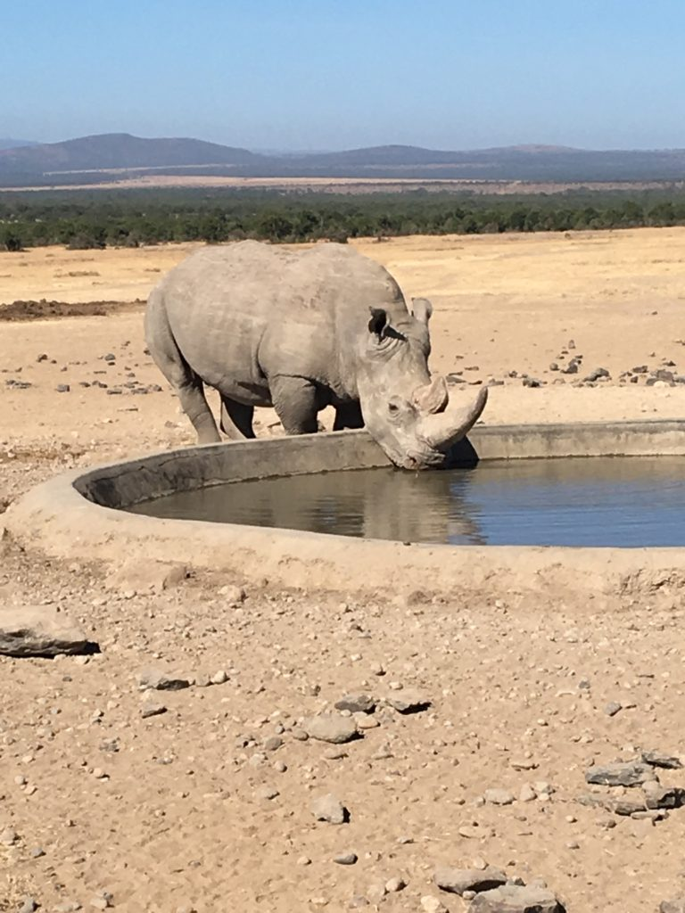 white-rhino-at-cistern