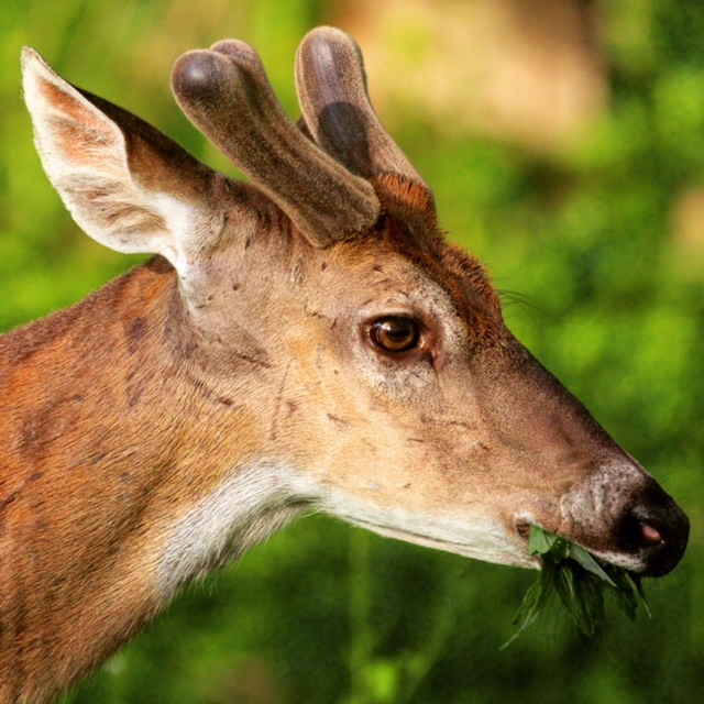 deer-nine-mile-run