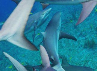 shark-feeding-frenzy