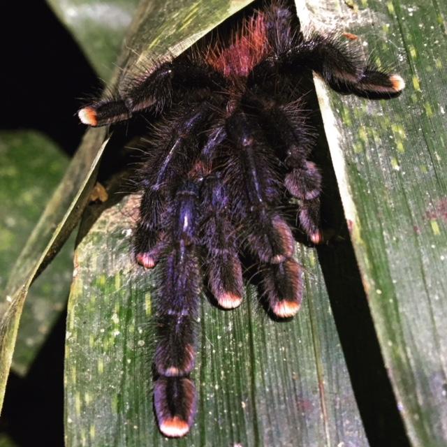 pink-toe-tarantula