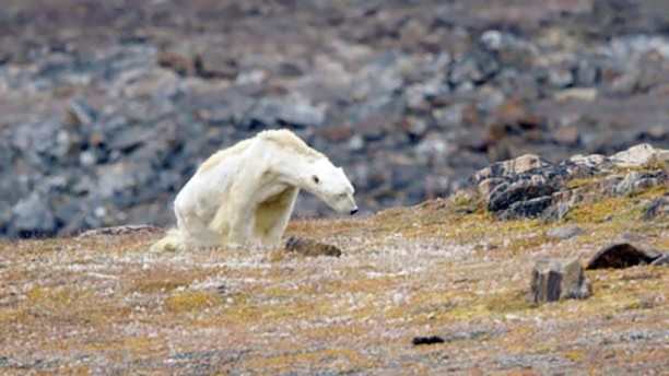 christina-mittermeier-starving-polar-bear