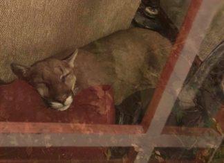 lauren-taylor-sleeping-mountain-lion
