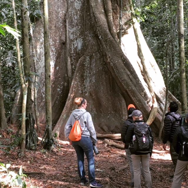 amazon-ficus-tree