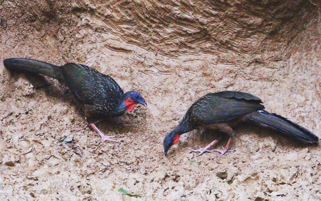turkeys-at-clay-lick