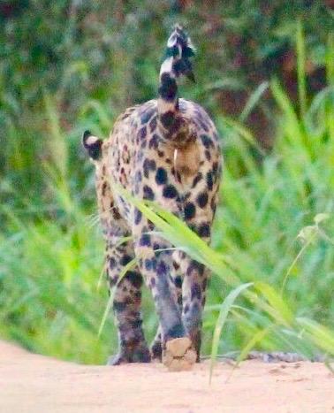 jaguar-urinating