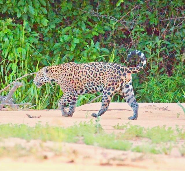 jaguar-pantanal