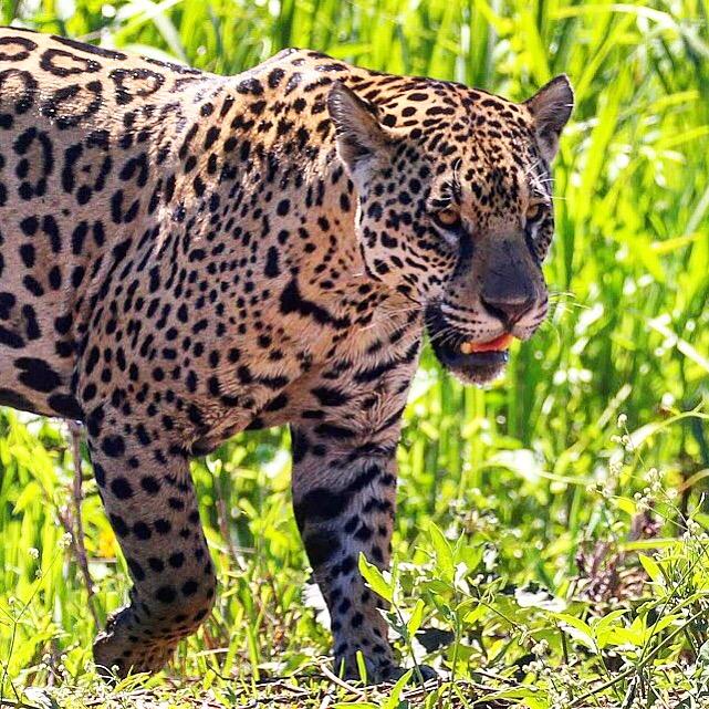 A Trip To Toilet Island Turns Into A Jaguar Encounter