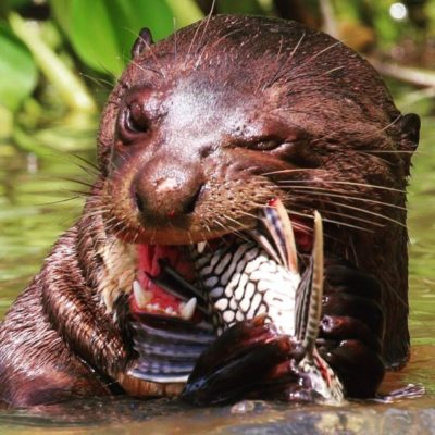 giant-otter-eating-fish